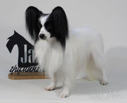 Продам щенков папильона   Предлагаю щенков папильона шоу класса и для разведени. Одесса, Одесская область. фото 1