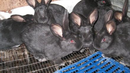 Продам крольчат породы Серебристый (Полтавское серебро). Мариуполь. фото 1