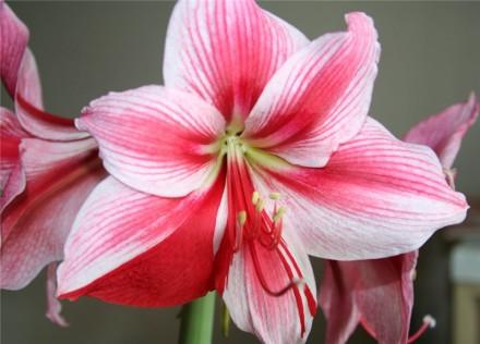 продам луковицы амариллиса белый, розовый, красный коралловый. Чугуев. фото 1