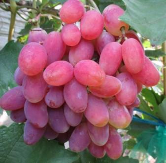 Черенки  Отличного винограда. Полтава. фото 1