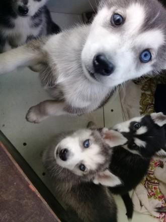 Продаю щенков хаски.  Еще есть и мальчики и девочки.  Окрасы: волчий, черно-бе. Скадовск, Херсонская область. фото 6