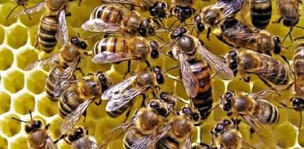 Продаю бджолині матки Мандзюка О.М.. Тернопіль. фото 1