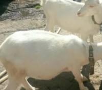 Продам козу та козенята. Тлумач. фото 1