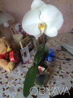 Орхидея Singolo opti-flor белая, 1 стебель, Голландия.. Киев. фото 1