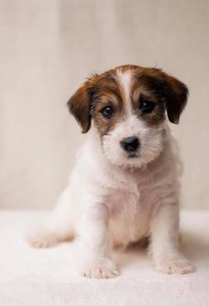 Предлагается к продаже щенок Джек Рассел Терьера от лучших представителей породы. Львов, Львовская область. фото 3