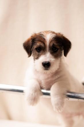 Предлагается к продаже щенок Джек Рассел Терьера от лучших представителей породы. Львов, Львовская область. фото 2