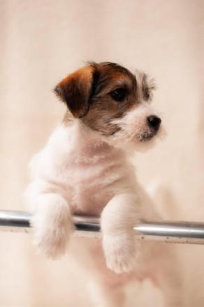 Предлагается к продаже щенок Джек Рассел Терьера от лучших представителей породы. Львов, Львовская область. фото 4