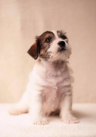 Предлагается к продаже щенок Джек Рассел Терьера от лучших представителей породы. Львов, Львовская область. фото 5