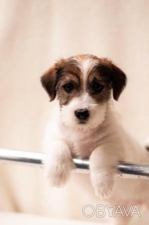 Предлагается к продаже щенок Джек Рассел Терьера от лучших представителей породы. Львов, Львовская область. фото 1