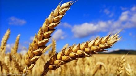 Пшениця для виготовлення борошна (зерно в мішках по 25 кг.). Киев. фото 1