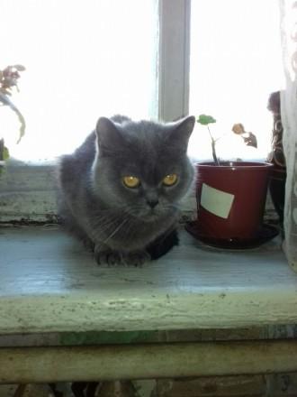 СРОЧНО! Продам кошку британской породы. Чернигов. фото 1