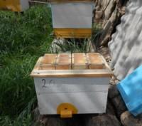 Приймаємо замовлення на плідні і неплідні  мічені матки породи бджіл Карніка F1 . Борщев, Тернопольская область. фото 12
