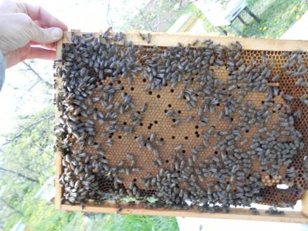 Приймаємо замовлення на плідні і неплідні  мічені матки породи бджіл Карніка F1 . Борщев, Тернопольская область. фото 13