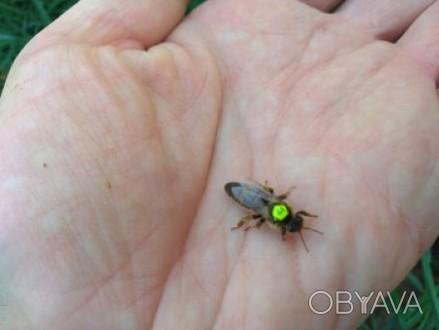 Приймаємо замовлення на плідні і неплідні  мічені матки породи бджіл Карніка F1 . Борщев, Тернопольская область. фото 1