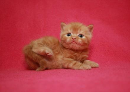 Дружелюбный очаровашка.Шотландский Короткошерстный котёнок-мальчик. Киев. фото 1