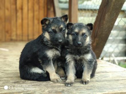 Продам цуценят німецької вівчарки народжені в квітні, злучка була запланована, в. Львов, Львовская область. фото 5
