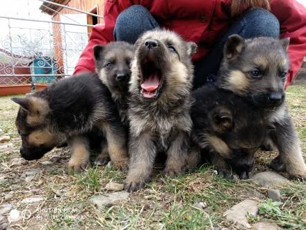 Продам цуценят німецької вівчарки народжені в квітні, злучка була запланована, в. Львов, Львовская область. фото 6