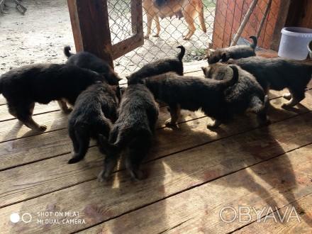 Продам цуценят німецької вівчарки народжені в квітні, злучка була запланована, в. Львов, Львовская область. фото 1