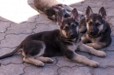 Для любителей и ценителей классической ВЕО.  Продаются щенки восточно-европейс. Запорожье, Запорожская область. фото 2