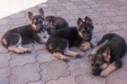 Для любителей и ценителей классической ВЕО.  Продаются щенки восточно-европейс. Запорожье, Запорожская область. фото 8