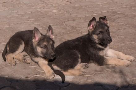 Для любителей и ценителей классической ВЕО.  Продаются щенки восточно-европейс. Запорожье, Запорожская область. фото 4