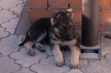 Для любителей и ценителей классической ВЕО.  Продаются щенки восточно-европейс. Запорожье, Запорожская область. фото 9