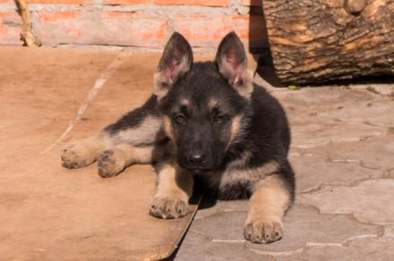 Для любителей и ценителей классической ВЕО.  Продаются щенки восточно-европейс. Запорожье, Запорожская область. фото 5