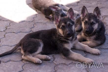 Для любителей и ценителей классической ВЕО.  Продаются щенки восточно-европейс. Запорожье, Запорожская область. фото 1