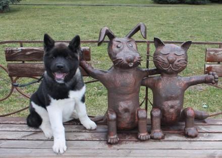 Продается щенок американской акиты, девочка, 4 месяца, привита по возрасту, чипи. Днепр, Днепропетровская область. фото 3