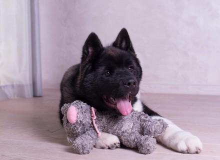 Продается щенок американской акиты, девочка, 4 месяца, привита по возрасту, чипи. Днепр, Днепропетровская область. фото 2