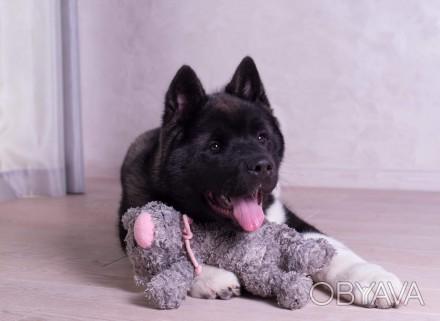 Продается щенок американской акиты, девочка, 4 месяца, привита по возрасту, чипи. Днепр, Днепропетровская область. фото 1