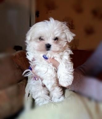 Мальтийская болонка щенки. Одесса. фото 1