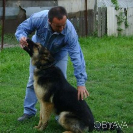 Дрессировка собак овчарок в домашних условиях