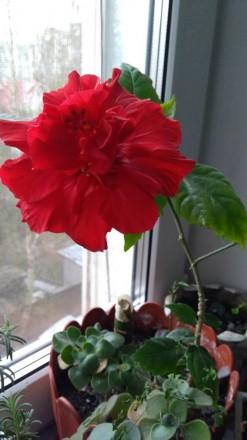 Китайская роза, Гибискус. Комнатные растения. Житомир. фото 1