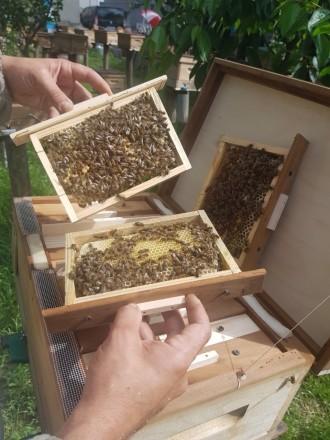 Ціну ще знижено:Продаю бджолині матки.. Мукачево. фото 1