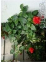 ГИБИСКУС - большой декоративно-цветущий цветок в офис. Чернигов. фото 1