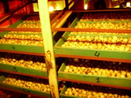 перепела,яйцо инкубационное,мясо перепела. Вольнянск. фото 1