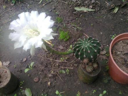 комнатные растения от 30 гривен Денежное дерево (Толстянка) кактус цветущий к. Мелитополь, Запорожская область. фото 4