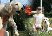 Щенки золотистого ретривера. Київ. фото 1
