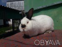Продаж кроликів Каліфорнійської породи. Белая Церковь. фото 1