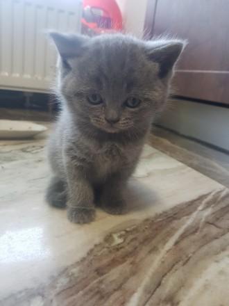 Британские короткошерстные котята голубого окраса и лилового. Киев. фото 1