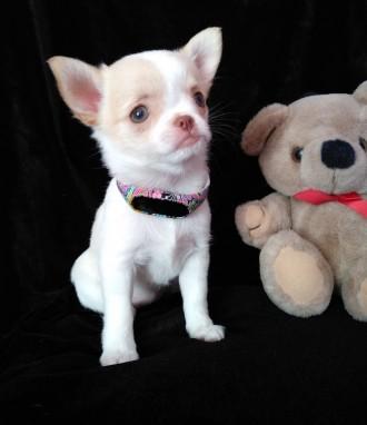 Продам щенка Чихуахуа(девочка). Дунаевцы. фото 1