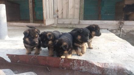 Продам классных щенков немецкой овчарки 1,5 месяца. Кропивницкий, Кировоградская область. фото 2