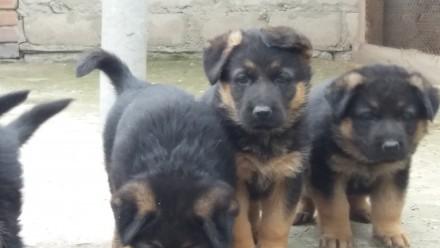 Продам классных щенков немецкой овчарки 1,5 месяца. Кропивницкий, Кировоградская область. фото 3
