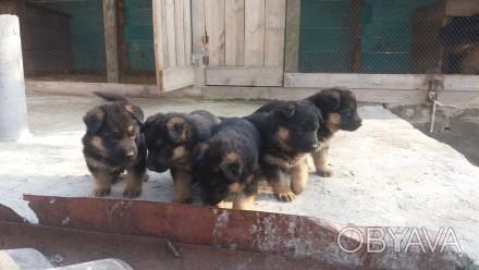 Продам классных щенков немецкой овчарки 1,5 месяца. Кропивницкий, Кировоградская область. фото 1