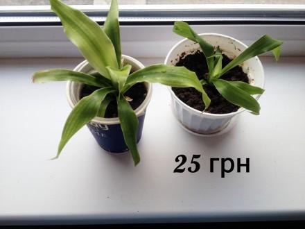 Пересилка рослин із фото:  - фікус - молочай - драцена Гукера - молочай  П. Сребное, Черниговская область. фото 3