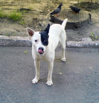 Ищу белую собаку с раной на морде. Пес нуждается в лечении! СОС!. Киев. фото 1