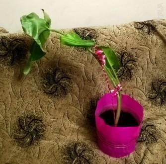 Калла - назва високодекоративних рослин сімейства Ароїдні (Araceae) з гарними ли. Львов, Львовская область. фото 3