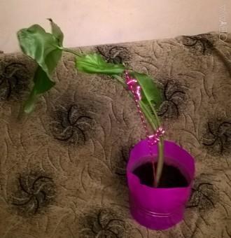 Калла - назва високодекоративних рослин сімейства Ароїдні (Araceae) з гарними ли. Львов, Львовская область. фото 1