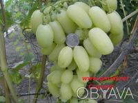Саженцы винограда. Винница. фото 1